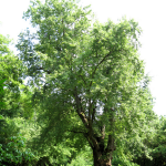 Silver-Maple-Acer-150x150